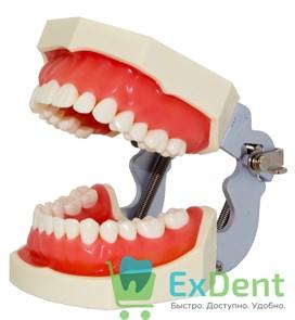 Фантом - учебная модель зубов